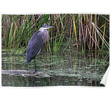 Great Blue Heron on a log Poster