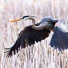 Great Blue Heron in flight by michelsoucy