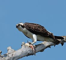 Osprey with Bullhead by michelsoucy