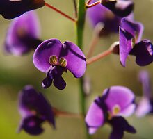 Hovea in Karnup by kalaryder
