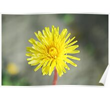 Dandelion Flower Poster