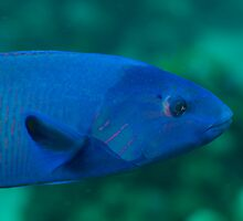 Blue Wrasse by Kenji Ashman