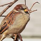 A Handsome Sparrow by lorilee