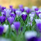 Amongst the crocuses by Snowyturner