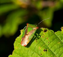 Stink Bug by Imager