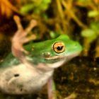 Tree Frog by Derek Little