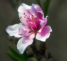 First Bloom by heatherfriedman