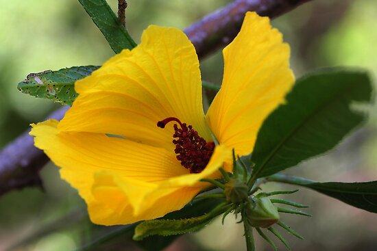 Hibiscus heterophyllus  by andrachne