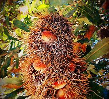 iPhoneography: Old Man Banksia by Aakheperure