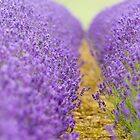 Lavender by Chris Tarling