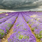 Lavender field under heavy summer cloud by Chris Tarling