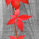 Three red leaves by SteveHphotos