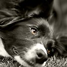 Loveable Border Collie by SteveHphotos