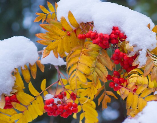 Mountain Ash [Sorbus sitchensis] by Yukondick