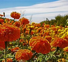 Field Of Marigolds by Chet  King