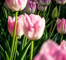 Pink Tulips by Eliza Ticknell