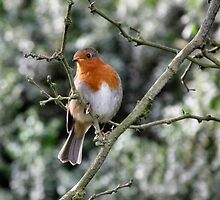 European Robin by LydiaBlonde