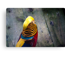 Golden Pheasant (Chrysolophus pictus) Canvas Print