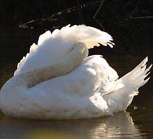 Mute Swan...AS IS by trueblvr