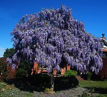 Wisteria shaped as a Tree  by Bev Pascoe