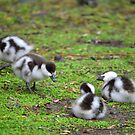 Paradise Ducklings in Christchurch by Bami