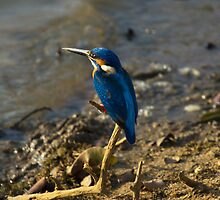 Kingfisher  by Cole Stockman