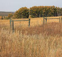 Prairie Poplar grove by Jim Sauchyn