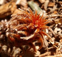 Banksia blechnifolia young growth  by kalaryder