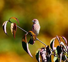 House Finch... by Larry Baker