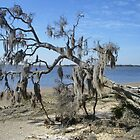 spanish moss covered tree by Penny Rinker