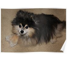Max - Prince of the Pomeranians Poster