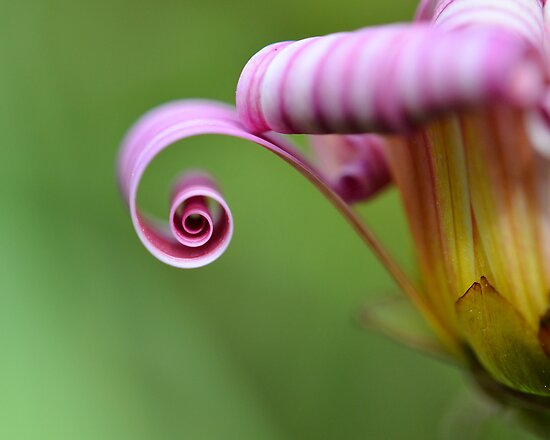 Daisy Curl by gmws