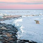 Polar bear on Fram Strait ice floe by Algot Kristoffer Peterson