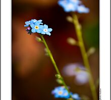 Forget Me Not by onyonet photo studios