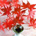 Maple Leaves Happy Birthday Card by LouiseK