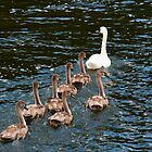 Mute Swans by fg-ottico