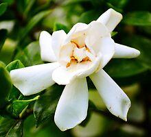 Yellow-White Flower (White gardenia) by Sean Paulson