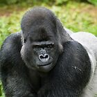 Western Lowland Gorilla, Silverback by fg-ottico