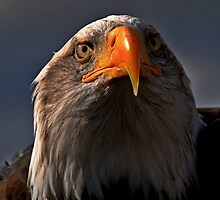 Bald Eagle by Photography  by Mathilde