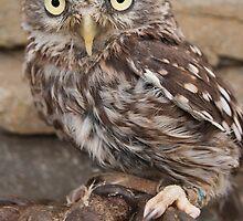 Little Owl by fg-ottico