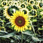 Sunflower-The Special by fine-art-prints