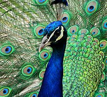 Peacock Display iPhone Case by Nick Field