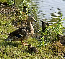 Mother Duck and Duckling by Sue Robinson