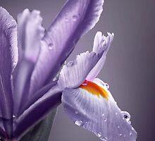 """Elegant Iris............."" by Rosehaven"