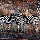 Burchells zebra pair. by Barry Feldman