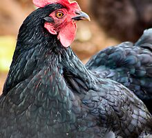 Black Hen 2 by Bami