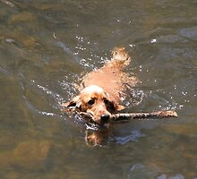 Jessie Learns to Swim & Fetch by aussiebushstick