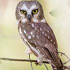 Northern Saw- Whet Owl by jamesmcdonald