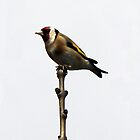 Goldfinch by Brian Avery