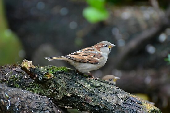 adolescent sparrow by Peter Wiggerman